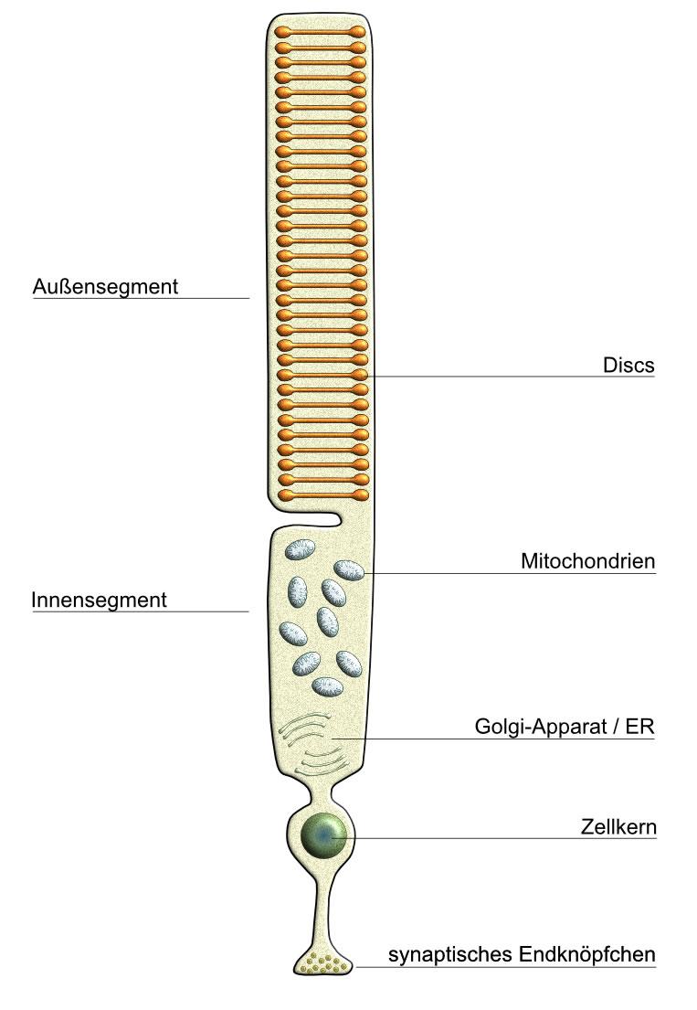 Photorezeptor