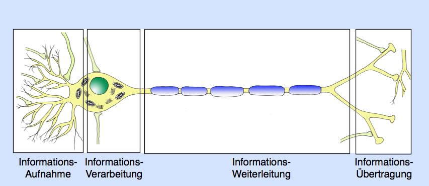 Neurobiologie Helmich - 1.1.1.2. Informationsverarbeitung an einer ...