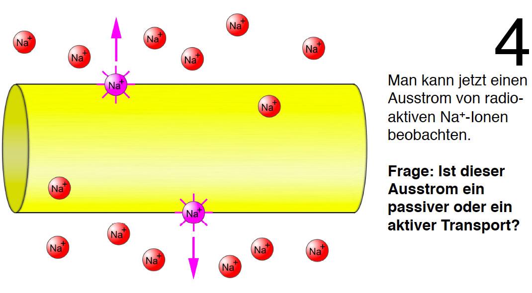 Nachweis der Na+/K+-Pumpe