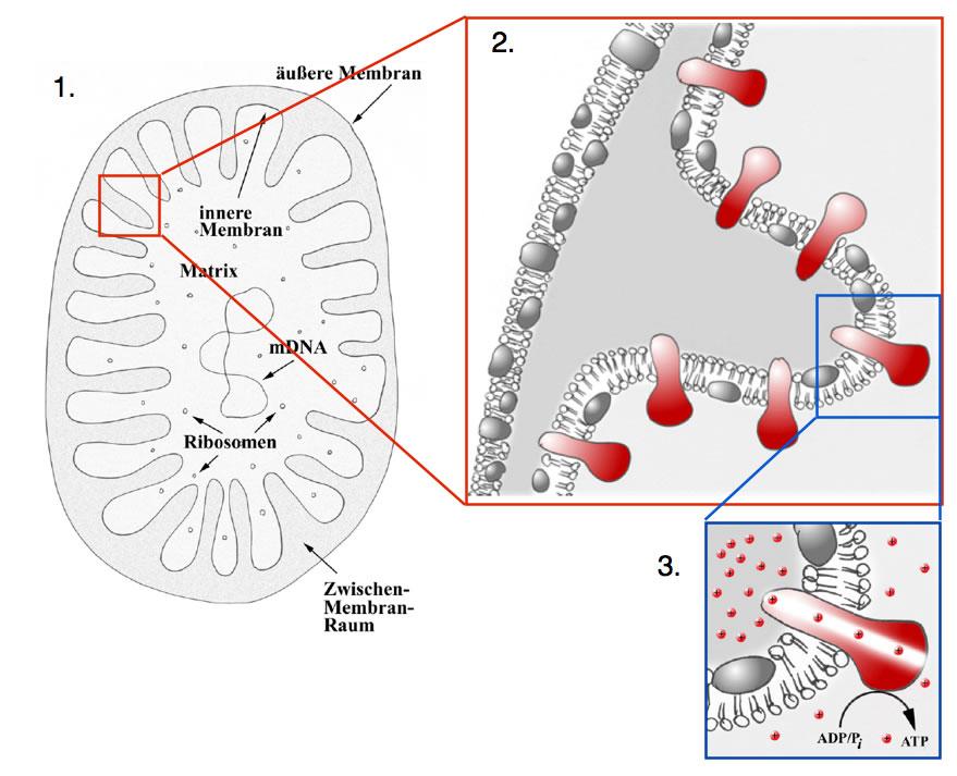 Die Amoebe (Amoeba proteus): ein Einzeller mit Scheinfüßchen
