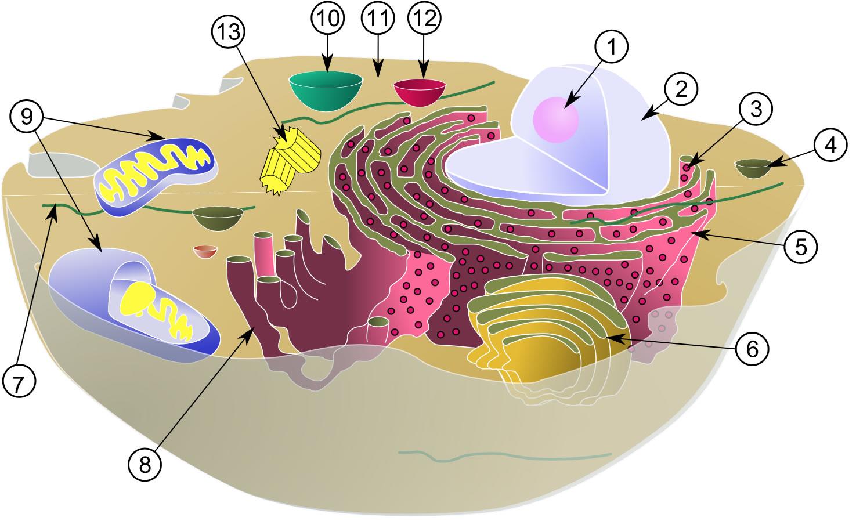 tierzellen aufbau